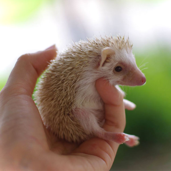 Cutest Baby Hedgies in the World! That's Our Opinion, and We're Sticking To It! - Click Me for More Details!